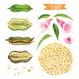Sesame, hand-painted watercolor set. Clipping paths included stock illustration