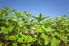 Sesame plant Royalty Free Stock Photography