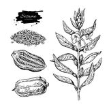 Sesame plant vector drawing. Hand drawn food ingredient. Botanic. Al sketch of herb with seed. Agriculture grain engraved object. Culinary condiment. Great for Royalty Free Stock Images