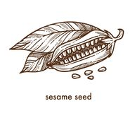 Sesame seeds from ripe plant and leaves monochrome sketch. Sesame seeds from ripe plant with big leaves monochrome sketch. Delicious condiment for exquisite Royalty Free Stock Photography