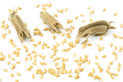 Sesame seeds and three pods Royalty Free Stock Photos