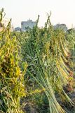 Sesamfält med sesamfröskidor och frö i Xigang, Tainan, Taiwan, slut upp, makro, bokeh arkivbilder