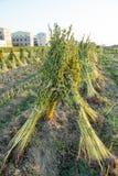 Sesamfält med sesamfröskidor och frö i Xigang, Tainan, Taiwan, slut upp, makro, bokeh royaltyfri foto