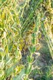 Sesamfält med sesamfröskidor och frö i Xigang, Tainan, Taiwan, slut upp, makro, bokeh arkivfoto