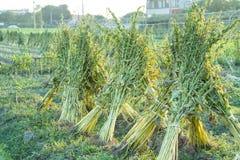 Sesamfält med sesamfröskidor och frö i Xigang, Tainan, Taiwan, slut upp, makro, bokeh fotografering för bildbyråer