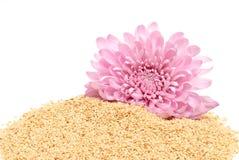 Sesamfrö och rosa dahlia Royaltyfri Bild