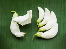 Sesban blanco en la hoja del plátano Fotos de archivo libres de regalías