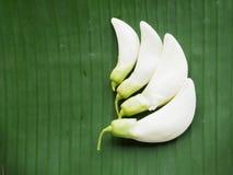 Sesban en la hoja del plátano Fotografía de archivo libre de regalías