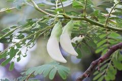 Sesban vegetal Agasta Fotografia de Stock Royalty Free
