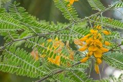 Sesbania Flower. Vegetable on the tree Stock Photo