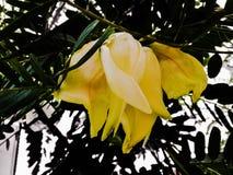 Sesbania grandiflora Obraz Stock