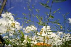 The sesbania javanica Stock Photo