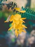Sesbania kwiaty obraz royalty free