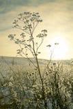 seseli φεγγαριών libanotis καρότων Στοκ εικόνες με δικαίωμα ελεύθερης χρήσης