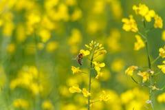 Sesión fotográfica de la macro del flor de la rabina La abeja está en el top del flor Imagen de archivo