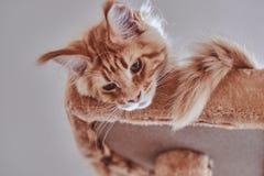 Sesión fotográfica del primer del gatito soñoliento lindo del mapache de Maine imagenes de archivo