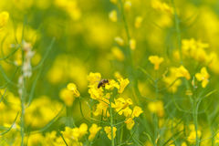 Sesión fotográfica macra de la abeja en el flor de Rapseed Fondo borroso Foto de archivo libre de regalías