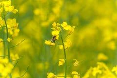 Sessão fotográfica do macro da flor da colza A abelha está na parte superior da flor fotografia de stock