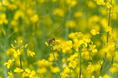 Sessão fotográfica do macro da flor da colza A abelha está na parte superior da flor fotografia de stock royalty free