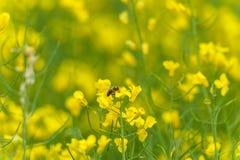 Sessão fotográfica macro da abelha na flor de Rapseed Fundo obscuro foto de stock royalty free