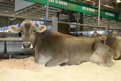 sessantacinquesimo Mucche da latte giuste del commercio internazionale Immagine Stock Libera da Diritti