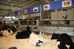sessantacinquesimo Mucche da latte giuste del commercio internazionale Fotografia Stock Libera da Diritti
