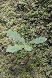 Sessile Oak Tree Sapling Royalty Free Stock Images
