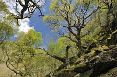 Sessile Oak Woodland Stock Photography