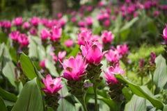Sessilis rosados de la cúrcuma Foto de archivo libre de regalías