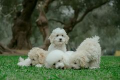 Four small puppies royalty free stock images
