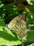 Sesso della farfalla Fotografia Stock