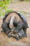 Sesso della tartaruga di Galapagos Fotografie Stock Libere da Diritti
