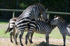 Sesso della zebra Immagini Stock