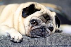 Sesta do Pug Fotografia de Stock Royalty Free