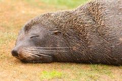 Sestas do forsteri do Arctocephalus do lobo-marinho de Nova Zelândia Fotos de Stock