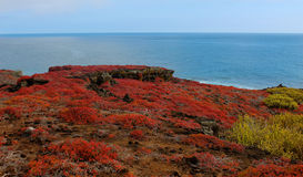 Sesuvium Expanse. The vibrant red flora of Galapagos creates an unworldy expanse of bright colors Royalty Free Stock Photos