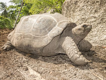 Seszele giants żółwia Zdjęcie Stock