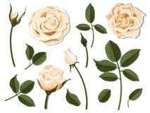Set śmietanki róży kwiatu części Zdjęcia Royalty Free