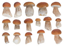 Set of 16 white mushrooms Royalty Free Stock Photo