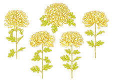 Set of 5 chrysanthemum flower. Set of 5 hand-drawn chrysanthemum flower, isolated on white background Royalty Free Stock Photography
