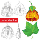 Set with Abutilon flower, leaf and bud isolated on white background. Floral elements in contour style Royalty Free Stock Photos