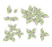 A Set of Acanthaceae Plant on White Background Stock Photo