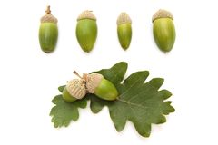 Set of acorns and oak leaves Stock Images