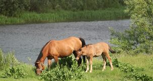 Set. Adult Brown Horse And Foal Young Horse Grazing On Green Meadow Near River In Spring Or Summer Season
