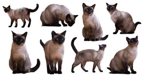 Set of Adult Siamese cats. Isolated on white background Stock Photography