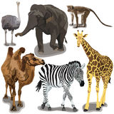 Set With African Animals. On white background Stock Image