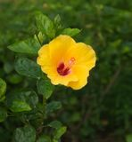Single Yellow Hibiscus. It is set against a background of thick, dark green hibiscus leaves Stock Photography