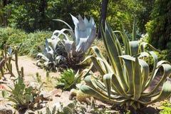 Set agawy i kaktusy Fotografia Stock