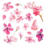 Set akwareli Sakura kwiat Zdjęcie Stock