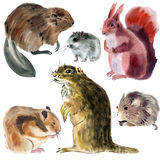 Set of animals rodents. Watercolor illustration in white background. Royalty Free Stock Image